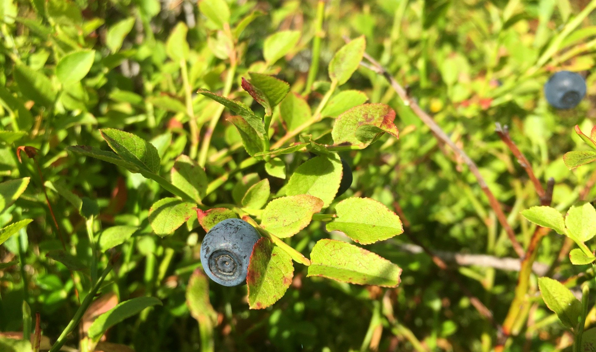 Swedish blueberries at the summer cabin