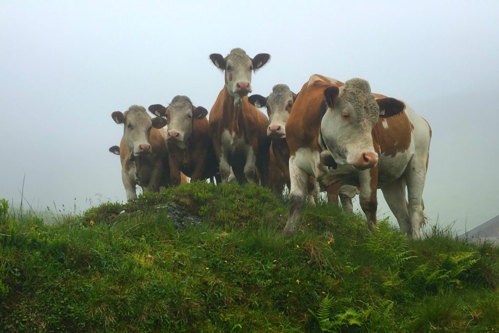 cows on an austrian hike
