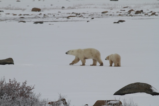 how to see polar bears in the wild