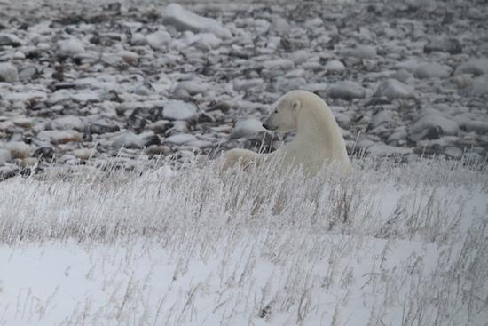 mom polar bear nursing cub